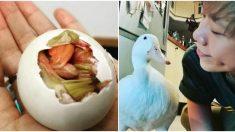 Decide incubar un huevo de pato comprado en el mercado y el resultado es una amiga para toda la vida