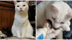 Gatito del tamaño de una cuchara recupera su salud gracias a un papá sustituto peludo y cariñoso