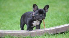 Perrito desnutrido más pequeño que una lata de Coca-Cola aprende a caminar, ¡es un campeón!