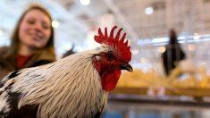 Demandan el canto de un gallo por ruidoso ante la corte en una isla francesa