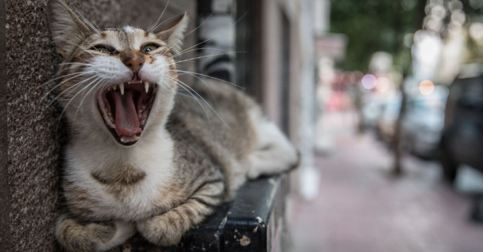 Un gato observado el 7 de agosto en Estambul, Turquía. (Chris McGrath/Getty Images.