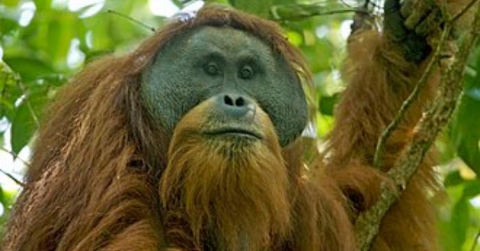 Tapanuli Orangután. Foto Wikipedia.