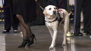 El perro de servicio de George H.W. Bush tiene un nuevo trabajo en la marina de EE. UU.