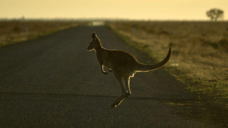 Esta foto, tomada el 27 de septiembre de 2018, muestra a un canguro saltando por la carretera en las afueras de la ciudad de Booligal, en el oeste de Nueva Gales del Sur. (PETER PARKS/AFP/Getty Images)