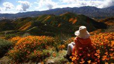 Súper floración de amapolas en California: turistas arrasan las plantas