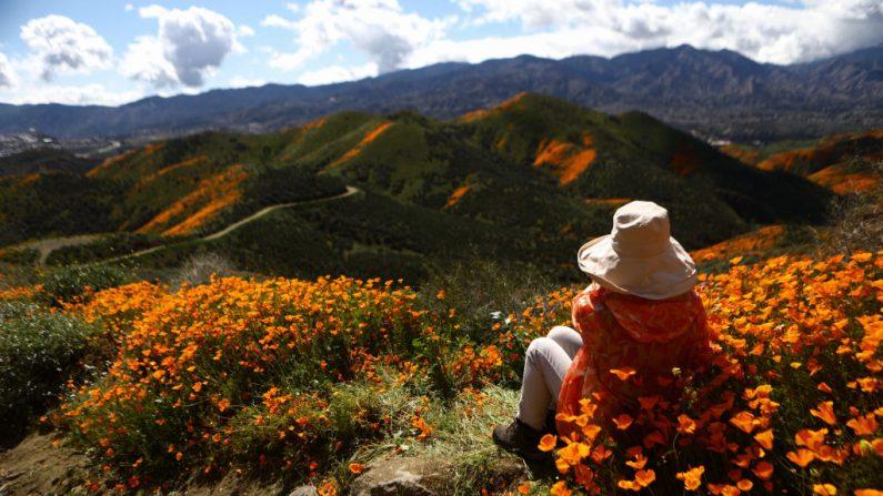 """Una mujer toma un descanso al borde de un paisaje de desierto florido en el cañón Walker el 12 de marzo de 2019 cerca de Lake Elsinore, California. El fin de semana del 18 de marzo la avalancha de visitantes caminando sobre ellas obligó el cierre de los caminos. Las lluvias de invierno más intensas de lo normal en California provocaron un hermoso """"súper florecimiento"""" de flores silvestres. (Mario Tama/Getty Images)"""
