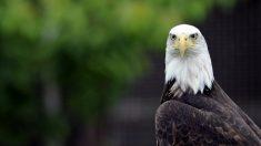 Fotógrafo captura tenso duelo de miradas entre un águila calva y una ardilla
