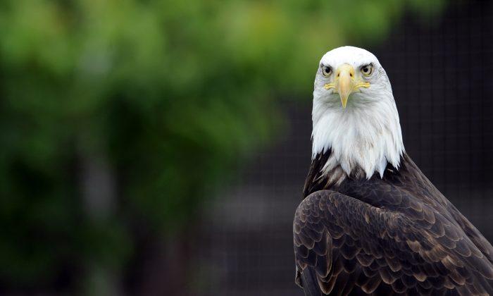 Foto de un águila calva (Jean-Christophe Verhaegen/AFP/GettyImages)