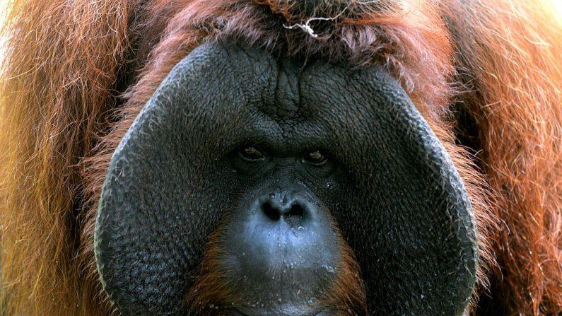 Un orangután de apenas dos años casí  fue contrabandeado de Indonesia a Rusia hasta que los funcionarios del aeropuerto de Bali lo descubrieron en una maleta de un pasajero ruso el 22 de marzo de 2019. Imagen de archivo. SONNY TUMBELAKA/AFP/Getty Images)