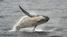 Investigan el comportamiento de ballenas jorobadas con los sonidos que emiten