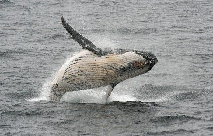 Una ballena jorobada salta del agua en el oeste de la península Antártica. (Eitan Abramovich/AFP/Getty Images)