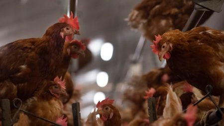 6000 gallinas mataron a picotazos a un zorro intruso en su gallinero