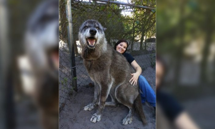 Santuario rescata a lobo gigante de ser sacrificado por no servir como mascota