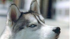 Firman petición para salvar a Husty, el perro que arrancó la mano de un niño creyendo que era un juguete