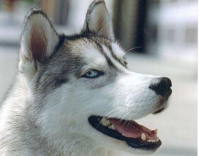 Perro siberiano husky. Imagen de archivo. (Wikimedia)