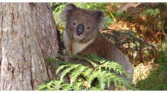 Dejó a su perro en el auto con el aire prendido y a la vuelta había un koala disfrutando del fresquito