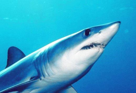Tiburón mako, uno de los más veloces en el océano. (Wikimedia) Commons)