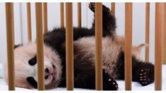 Esta es la adorable guardería de ositos panda que tiene enamorados a millones en la red