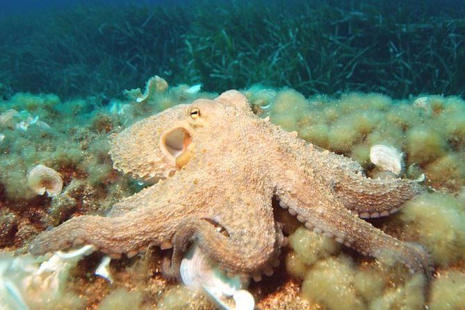 Pulpo octopus vulgaris. (Wikimedia)