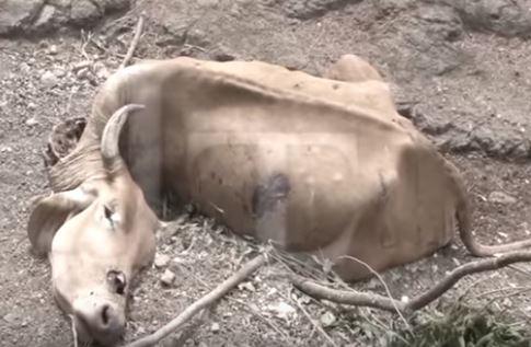 Vaca muerta en el mes de marzo de 2019 en Siguatepeque, Honduras (Captura de vídeo, La Tribuna)