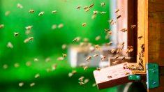 Enjambre de 20.000 abejas sigue el auto de una mujer por 2 días ¡todo por la curiosidad de la reina!