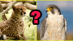 Ni el guepardo ni el halcón: el ser vivo más rápido habita en los lugares más hostiles del planeta