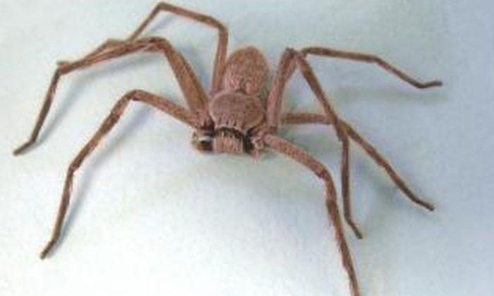 Araña huntsman (agric.wa.gov.au)