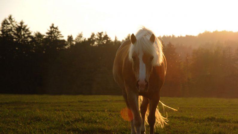 Imagen ilustrativa de un caballo rafa Haflingers (adelholub | Pixabay)