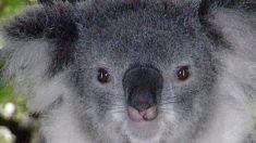 Deja su perro en el auto con aire acondicionado y un koala se mete a hacerle compañía