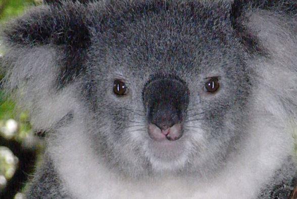 Koala. Inagen de archivo. (Wikimedia Commons)