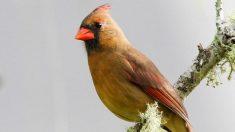 Mujer fotografía rarísimo cardenal amarillo y piensa que es su padre reencarnado