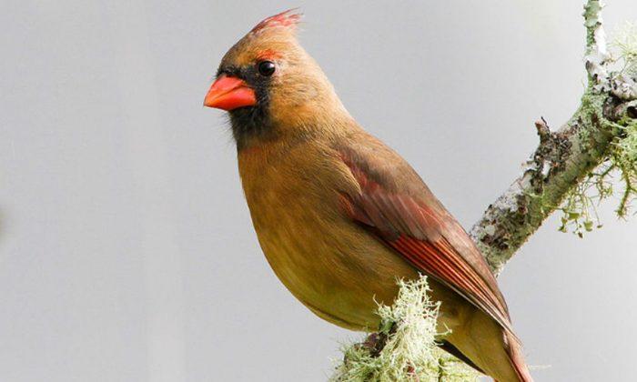 Un cardenal del norte en Florida. (Craig ONeal a través de la licencia genérica Creative Commons Attribution 2.0.)