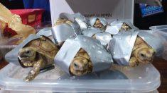Encuentran 1529 tortugas envueltas con cintas dentro de maletas abandonadas en un aeropuerto de Manila