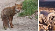 La estremecedora escena de un lobo atascado en un recipiente plástico deja una profunda lección