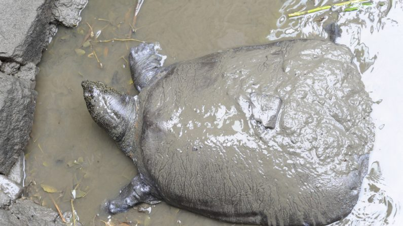 Fotografía realizada el 6 de mayo de 2015 que muestra una tortuga del Yangtsé en el barro en su recinto en el zoo de Suzhou en China. La tortuga falleció el pasado 13 de abril en una operación de inseminación, dejando vivas tan sólo tres tortugas de esa especie en el mundo. EFE