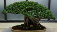 Este árbol bonsái de 391 años sobrevivió al terrible bombardeo de Hiroshima, una belleza invaluable