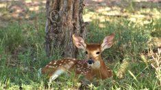 Publican imagen de un ciervo de Minnesota plagado de tumores