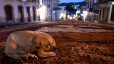 Chile: niño de 2 años sobrevive amamantado por una perra luego que su madre alcohólica lo abandona