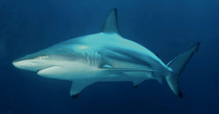 Un tiburón de aleta negra (Albert kok a través de la licencia Creative Commons Attribution Share Alike 4.0 International).