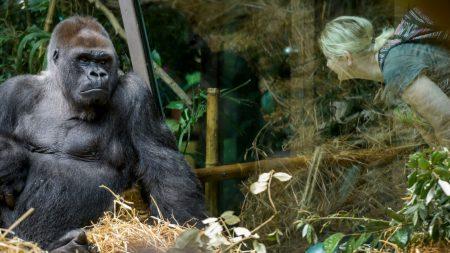 Conservacionista le presenta a su esposa un amigo gorila y parece estar 'enamorado de ella'