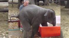 Video: Los primos de Dumbo solo quieren divertirse y hacer reír a los humanos con sus travesuras