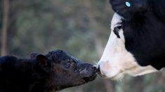 Granjero pensaba que su vaca estaba preñada de gemelos ¡pero no esperaba un caso de 1 en 700.000!