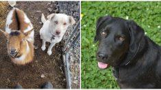 Labrador escapa de casa y luego de una aventura aparece con dos nuevos amigos