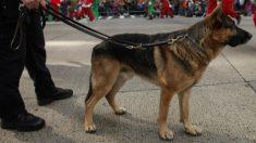 Se recupera perro policía alcanzado por 200 púas de puercoespín cuando perseguía a un sospechoso