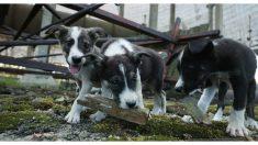 Los perritos radioactivos de Chernobyl siguen siendo intocables 30 años después del desastre nuclear