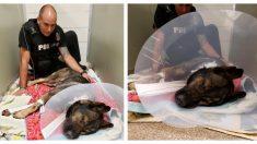 Titán, el valiente perro policía herido por un delincuente está en camino a su recuperación total