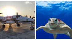 Tortuga marina regresa a la playa para anidar pero encuentra una pista de aterrizaje en su lugar