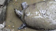 Muere la última tortuga hembra de caparazón blando conocida, dejando solo 3 machos vivos