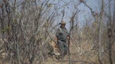 Cazador furtivo es devorado por leones después de ser aplastado por un elefante