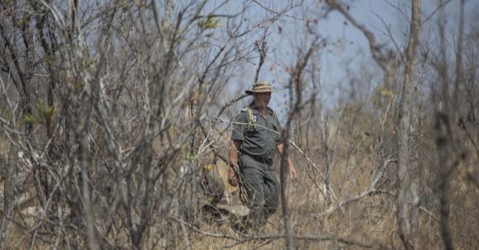 Foto de Frik Russouw, investigador principal de la unidad ambiental de parques nacionales de Sudáfrica camina hacia el lugar donde fue encontrado un rinoceronte cazado ilegalmente en el Parque Nacional Kruger, en Sudáfrica. el 21 de agosto de 2018. (Wikus De Wet/AFP/Getty Images)